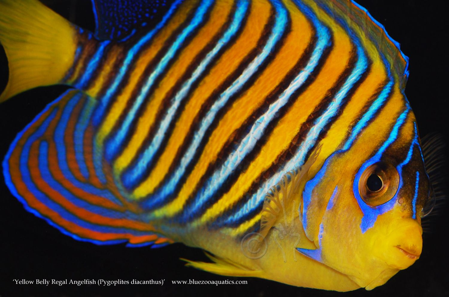 Collectors Choice Wysiwyg Item Yellow Belly Regal Angelfish Pygoplites Diacanthus Peces