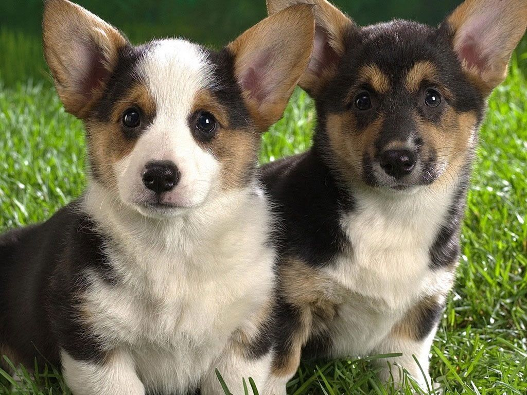 Cute Wittle Doggies Corgi Puppies For Sale Welsh Corgi Puppies Corgi Dog