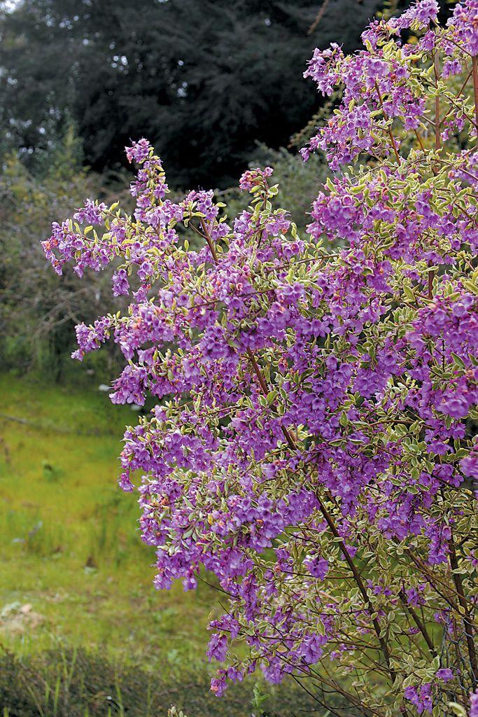 Australian shrubs shrub plants and garden planning for Garden planner australia