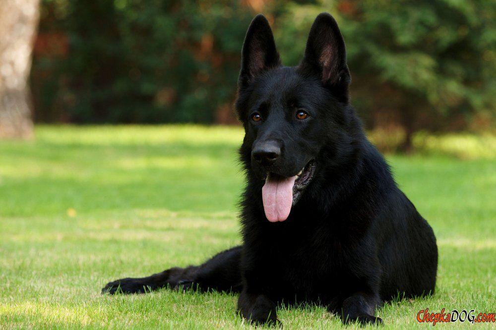 Foto En Blanco Perros Schwarzer Deutscher Schaferhund Schwarze Hunde Schaferhund Welpen