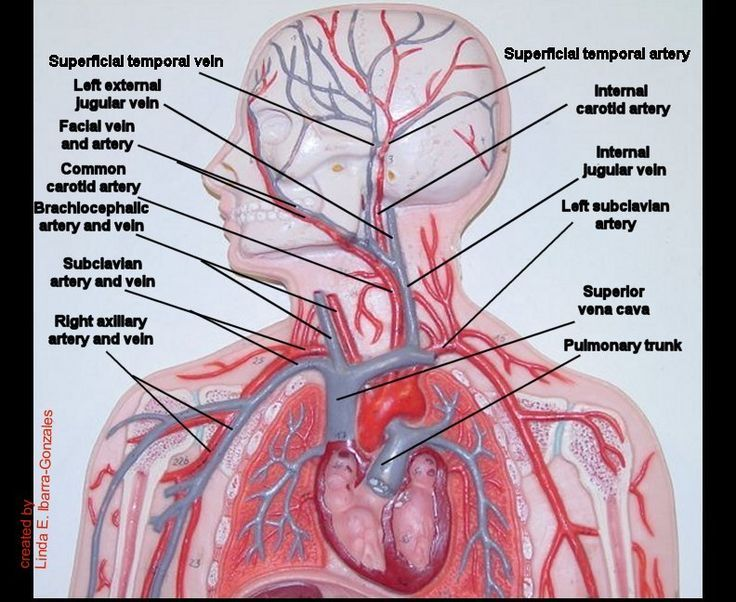 Image result for human arteries and veins labeled model ...