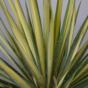 Vigoro 2 Gal  Color Guard Yucca(Adam's Needle), Live Plant
