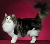 See A Slideshow Of The Norwegian Forest Cat Breed Norwegian Forest Cat Forest Cat Norwegian Forest Cat Breeders