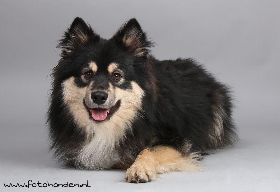 Aimo Finnish Lapphund one year old (With images) | Finnish ...