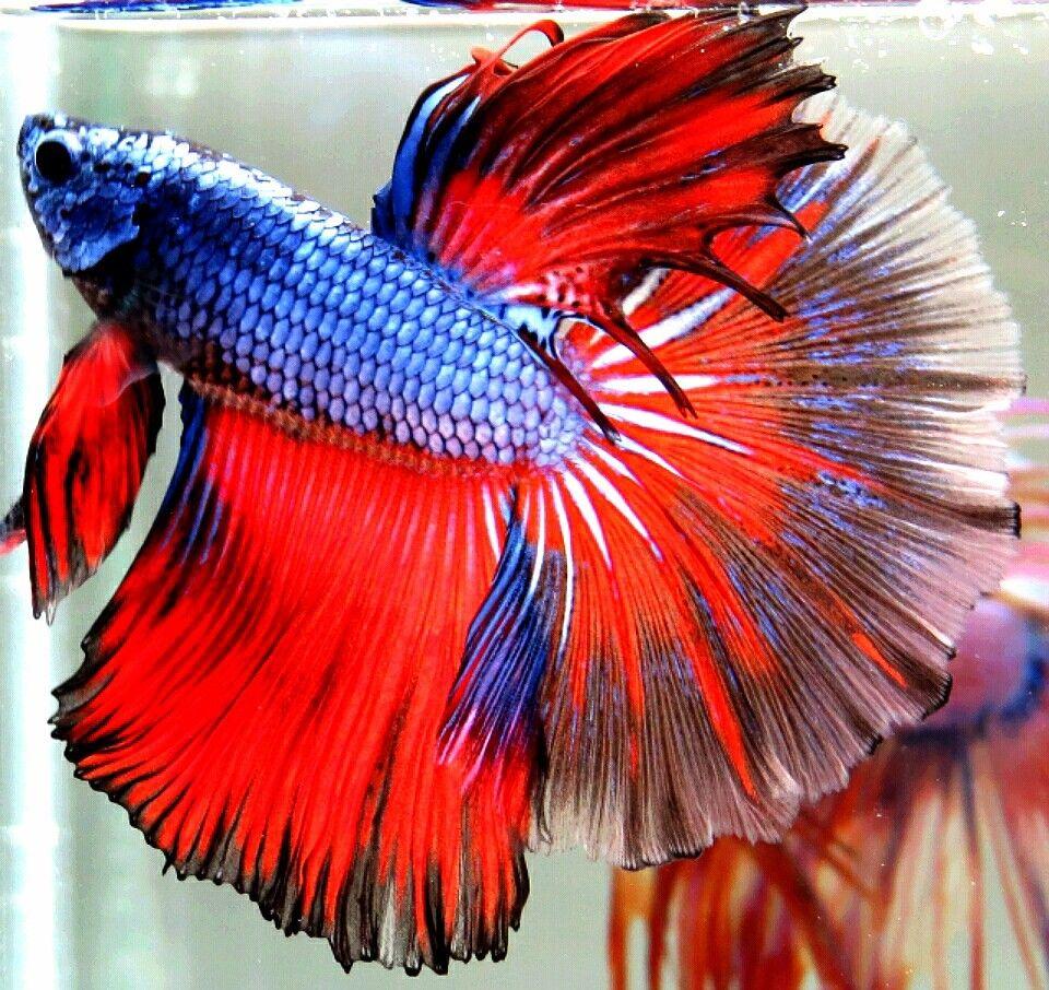 AquaBid.com -***Red-Blue-Dragon-Gas***HM-Male***   Beautiful Betta ...
