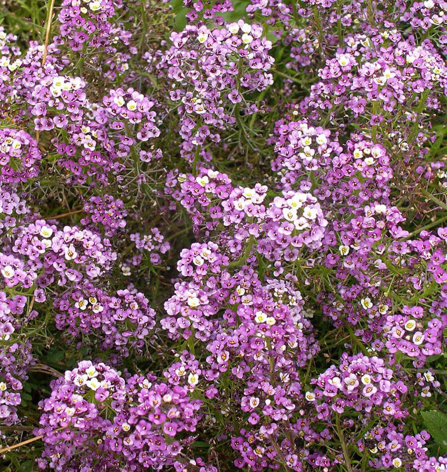 Dwarf Purple Beneficial Insects Dwarf And Small White Flowers