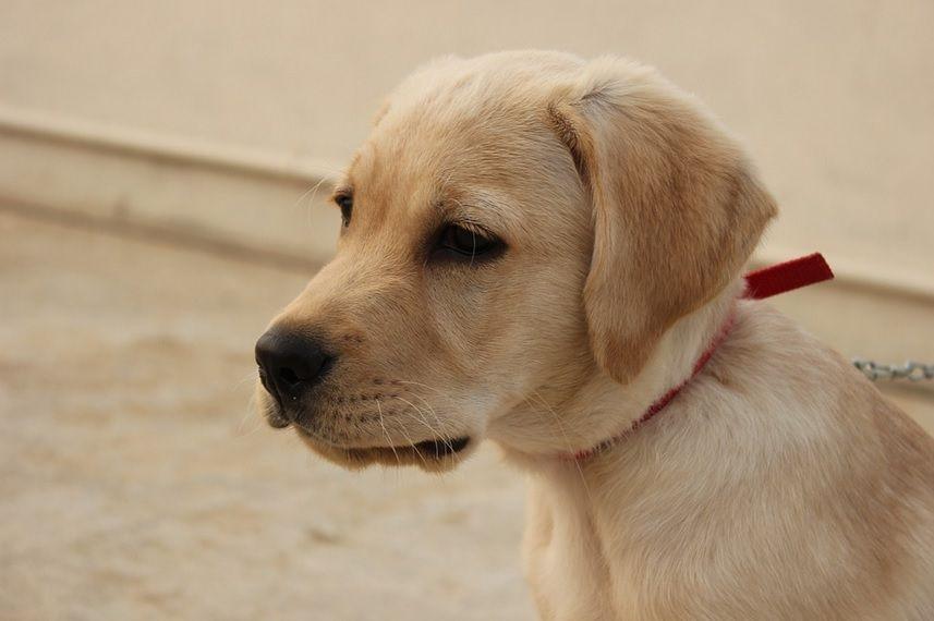 Revolution Heartworm And Flea Medication For Dogs Labrador