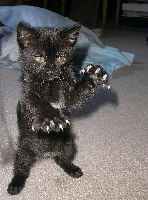 Fierce tiny black kitten with 10 claws out   Cats Kitty ...