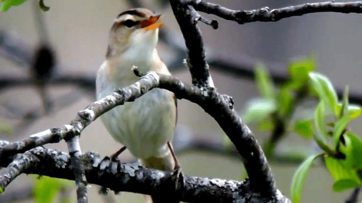 Ciri Khas Burung Kerakbasi Alis Hitam Dan Habitatnya Burung Burung Cantik Jalak
