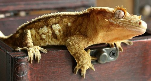 Looking to adopt a crested gecko! Crested gecko, Gecko