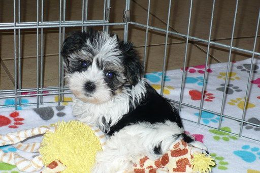 Morkie Puppy For Sale In Tucson Az Adn 40045 On Puppyfinder Com