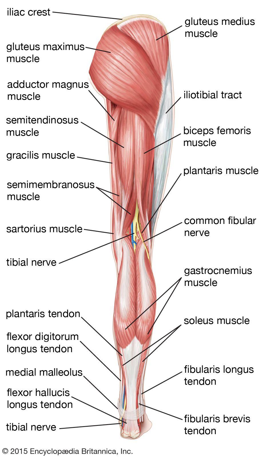 25+ Leg anatomy