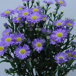 Aster Montecasino Purple Fillers Aster Flower Wholesale Flowers Purple Flowers