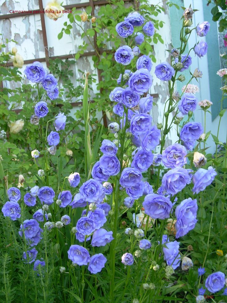 It S Hard To Forget A Few Highly Invasive Garden Campanulas Notably Campanula Punctata And C Early Spring Flowers Perennial Plants Spring Garden Flowers