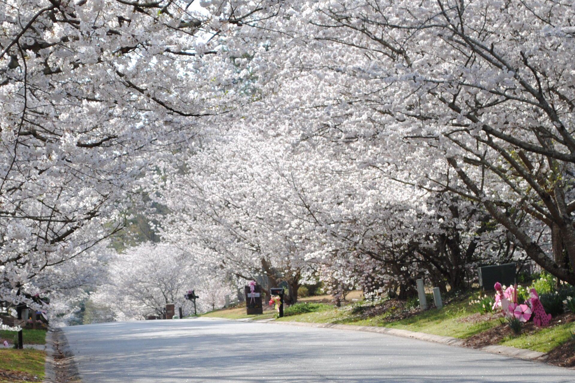 Cherry Blossom Festival Macon Ga Usa Yoshino Cherry Tree Cherry Blossom Festival Macon