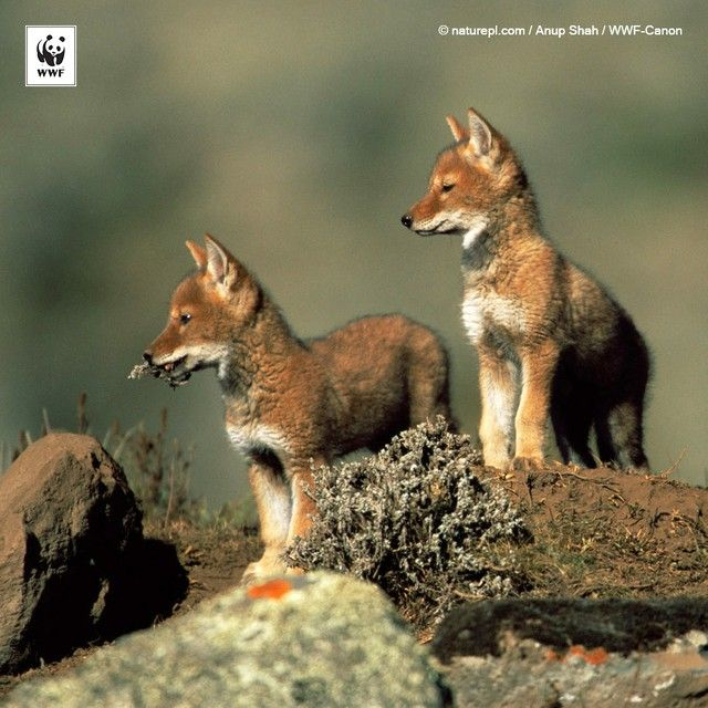 #Family time! These two #adorable Ethiopian wolf #pups are keeping each other company at Bale National Park, Ethiopia. Tag everyone you consider family to send them some #love. 332305