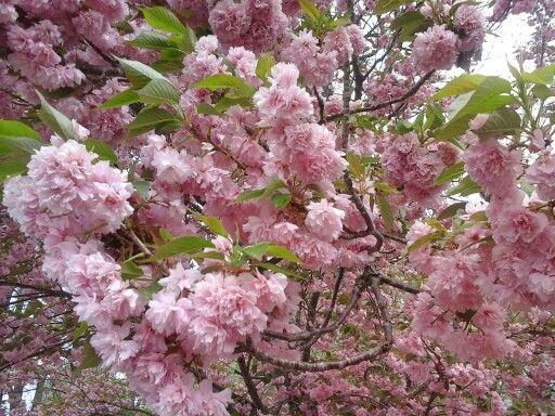 Fluffy pink flower tree taken by caroline harnish orchids fluffy pink flower tree taken by caroline harnish mightylinksfo