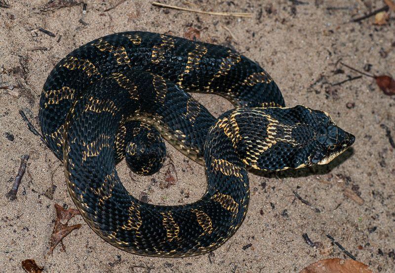 Wildlife And Nature Photos By Andrew Jackson Snake Nature Photos Hognose Snake