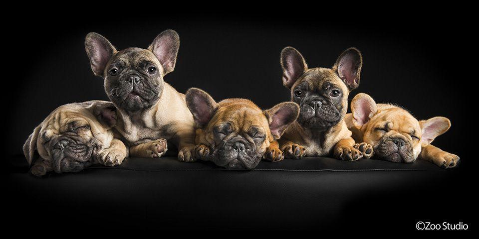 French Bulldog Puppies Zoo Studio Pet Photography Brisbane