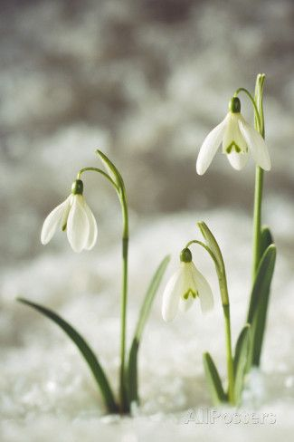 Snowdrop Three Flowers In Snow Photographic Print Allposters Com Flowers Photography Beautiful Flowers Pictures Beautiful Flowers Photography