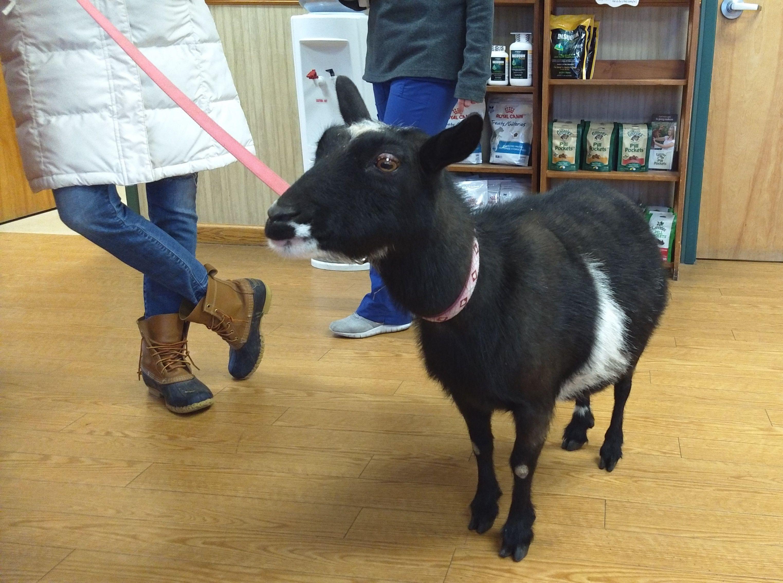Meet Oreo! Goats, Sheep, Veterinary services