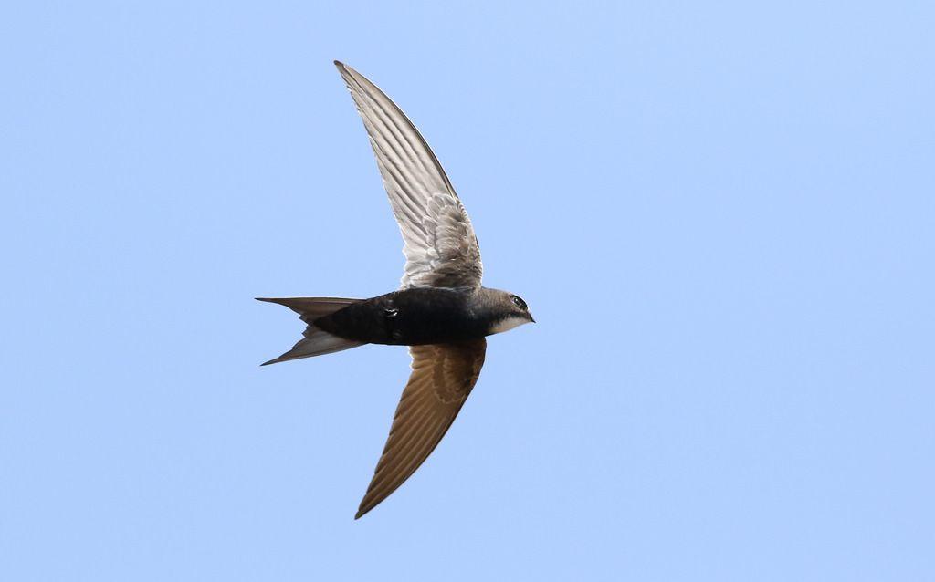 طائر السمامة ينتمي الي رتبة السماميات وهي فصيلة طيور تتكون من 92 نوع وتشتهر بالقدرة العالية على الطيران والسرعة وأجنحتها طويلة وذيلها مش Animals Birds Bird