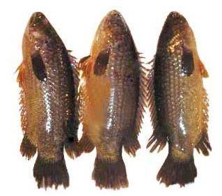Koi Fish Koi Fish Fish Koi