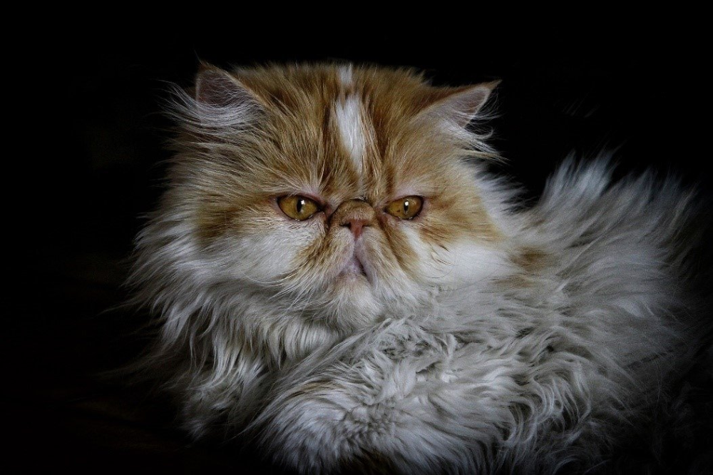 All About Persian Cats Cost, Personality, Shedding & More