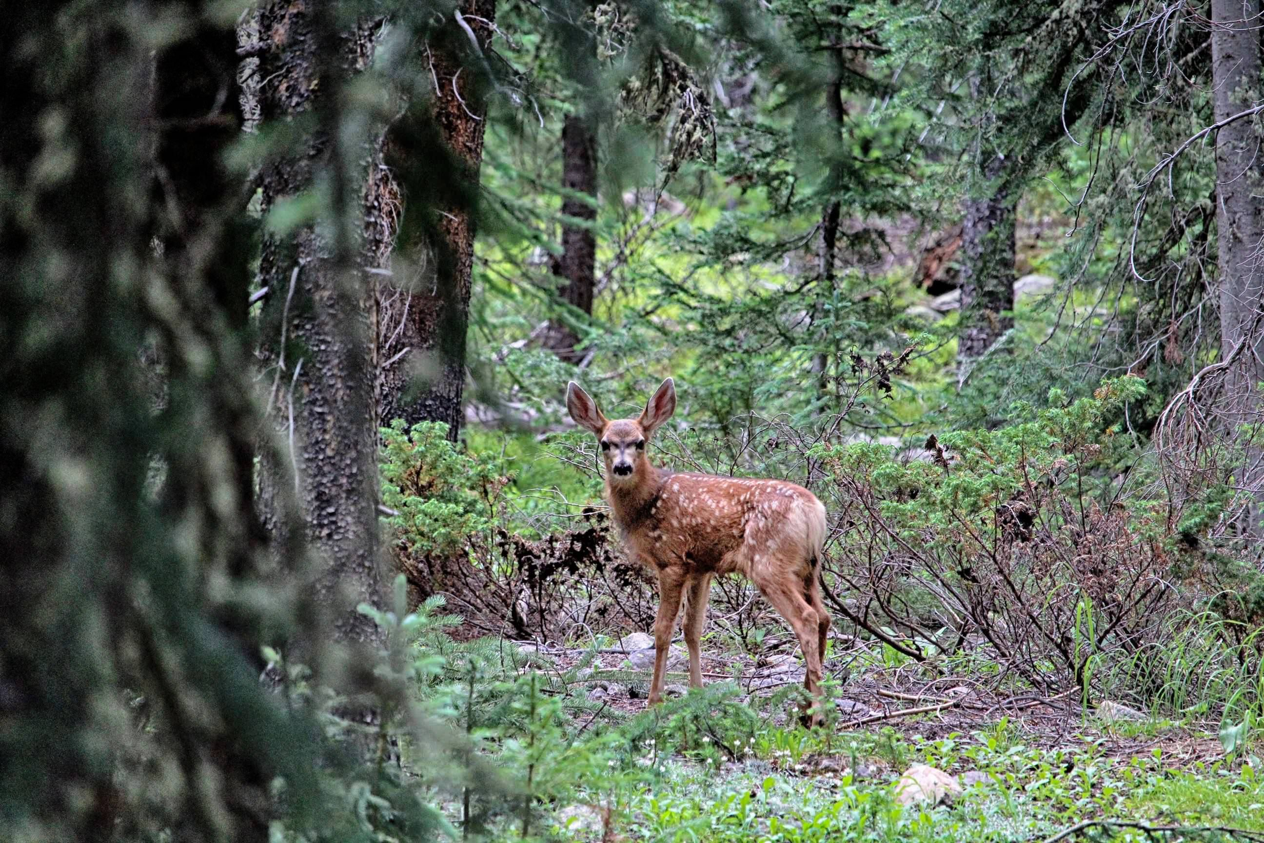 Young deer in Rocky Mountain National Park on the Lulu city trail. Cannon EOS Rebel T5 55-250mm lens.