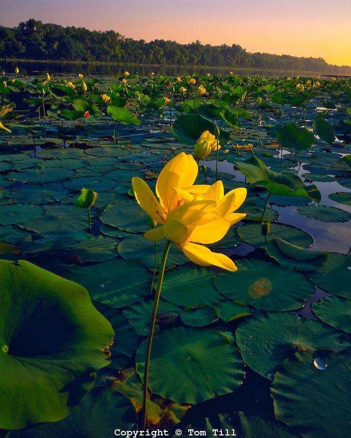 Summer American Lotus Blooms On De Soto Lake Missouri River De