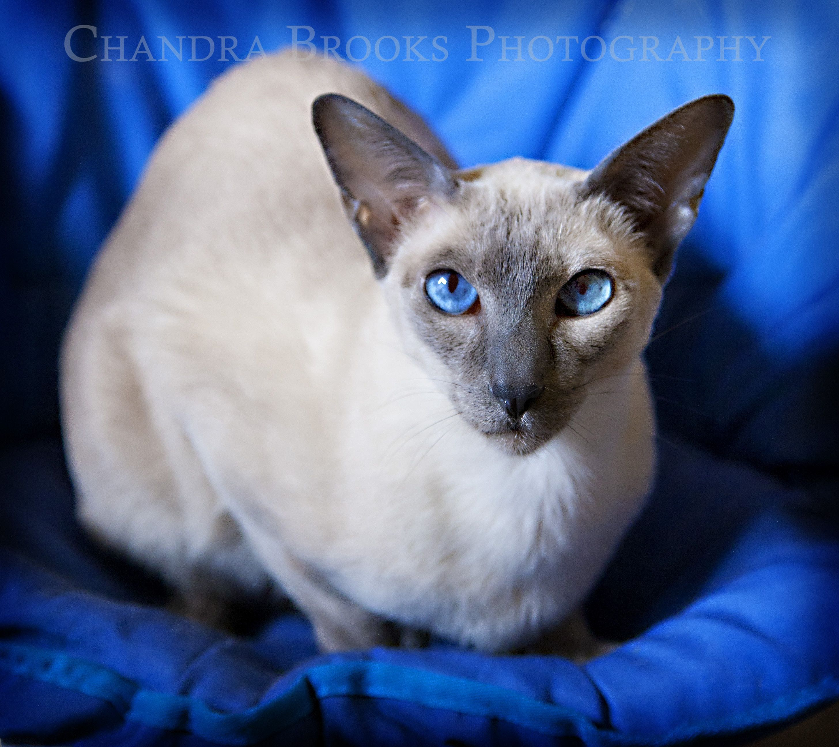 A photo I took recently of Bonnie, a lovely lilac point Siamese ...