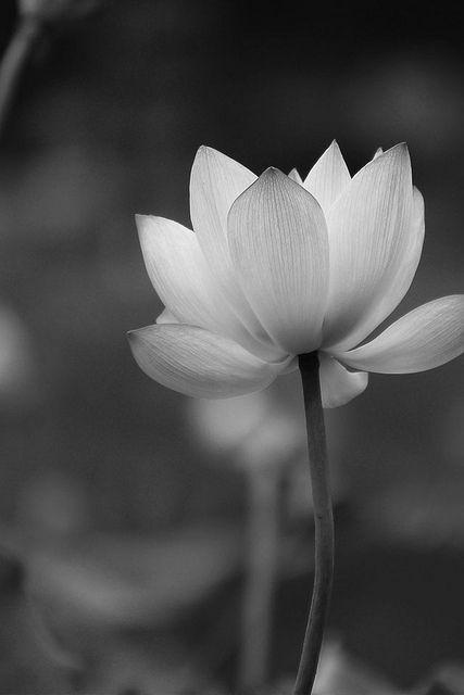 Amazing lotus flower from screendiy peace gorgeous cool iphone amazing lotus flower from screendiy peace gorgeous mightylinksfo