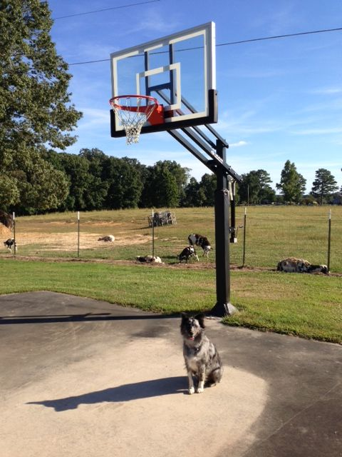 The Family Dog Poses Before Installed Pro Dunk Silver Basketball System Blue Sky And Stretching Field Offer Perfect Place To Practice