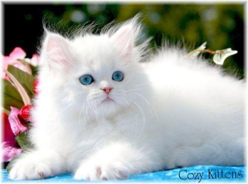 Beautiful White Kitty  <3