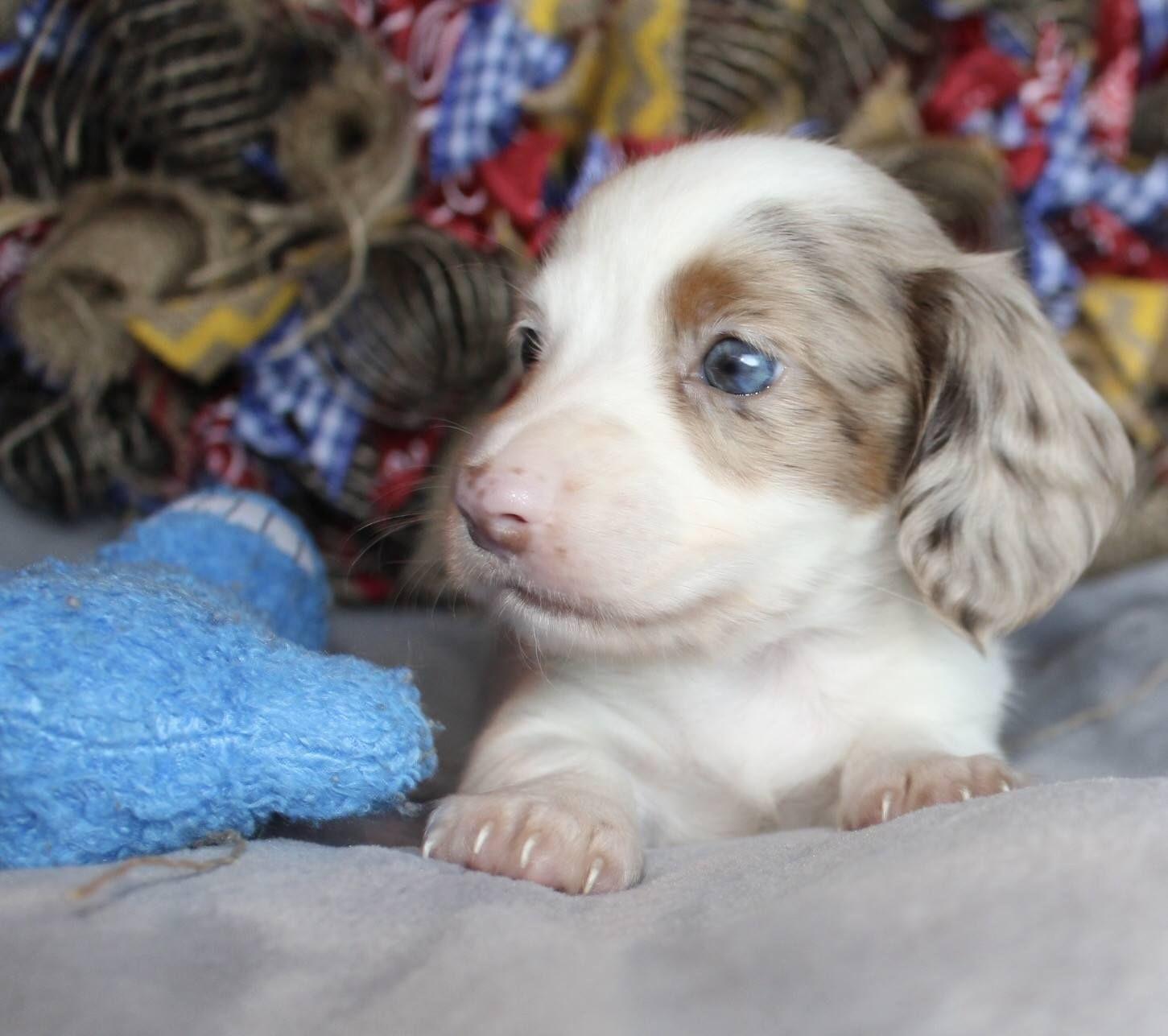 Gallery Dachshund puppies for sale, Daschund puppies