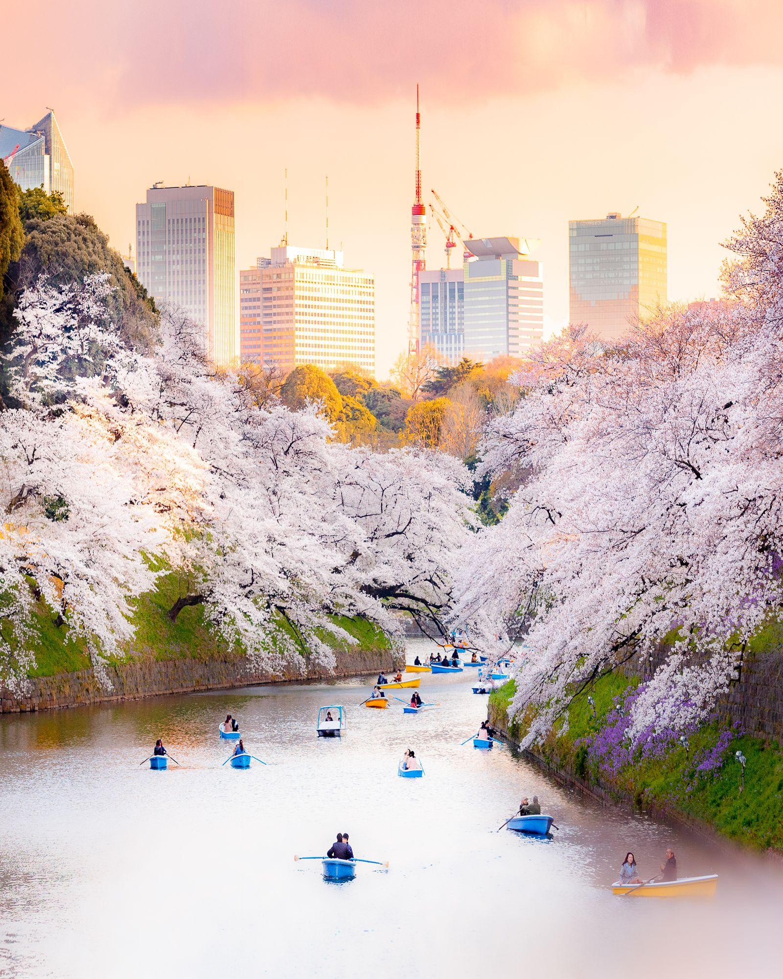 Cherry Blossom In Tokyo At Kitanomaru Park Sakura Japan Cherry Blossom Japan Japan Sakura Tokyo Cherry