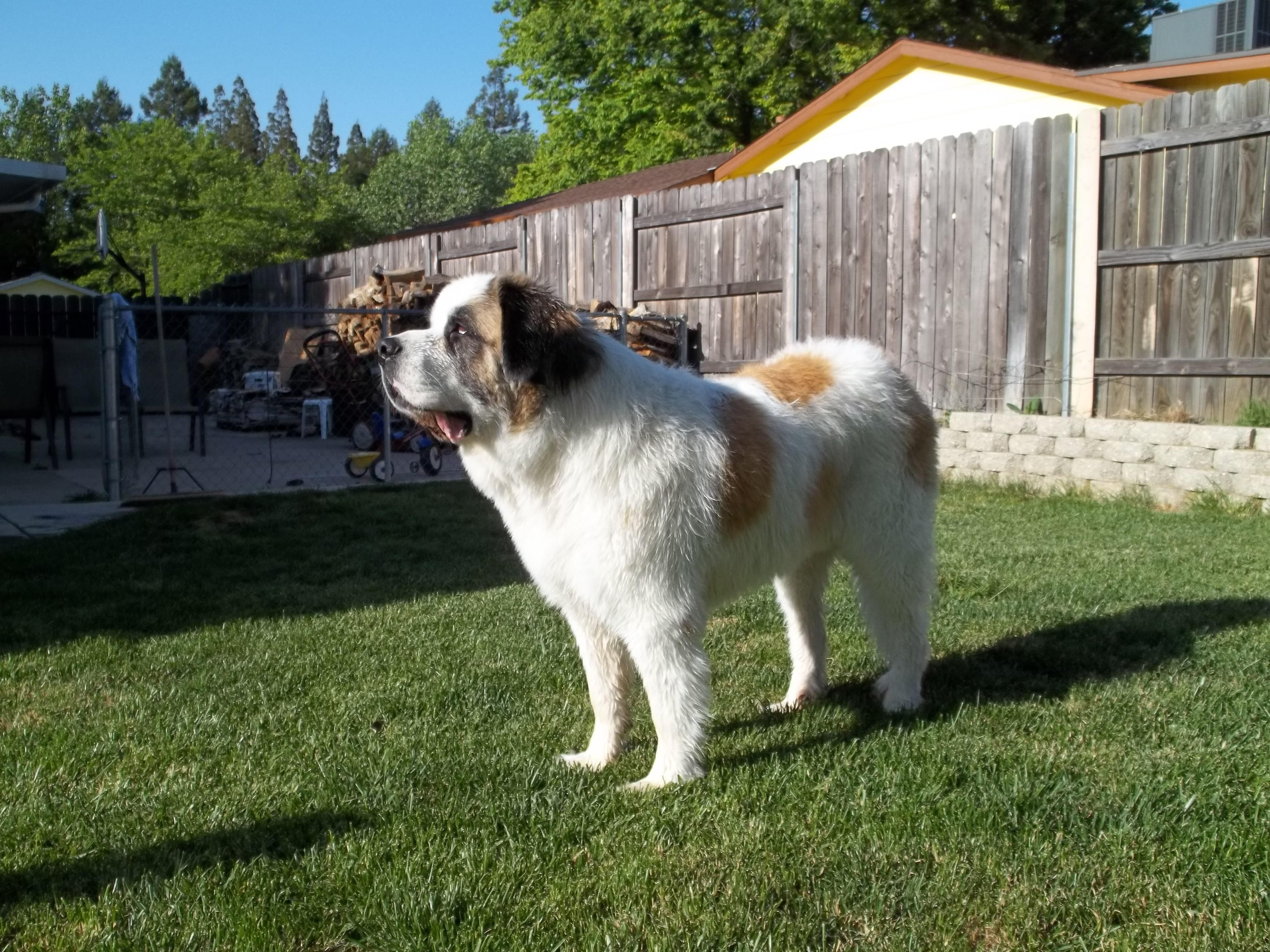When You Mix St Bernard And Great Pyrenees This Is What You Get