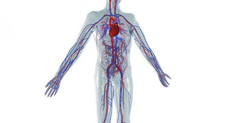 Blutgefäße und Herz bilden das Herz-Kreislauf-System. Arterien ...
