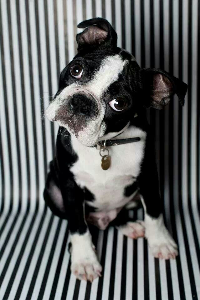 Pin By 4myboys21 On Boston Love Boston Terrier Love