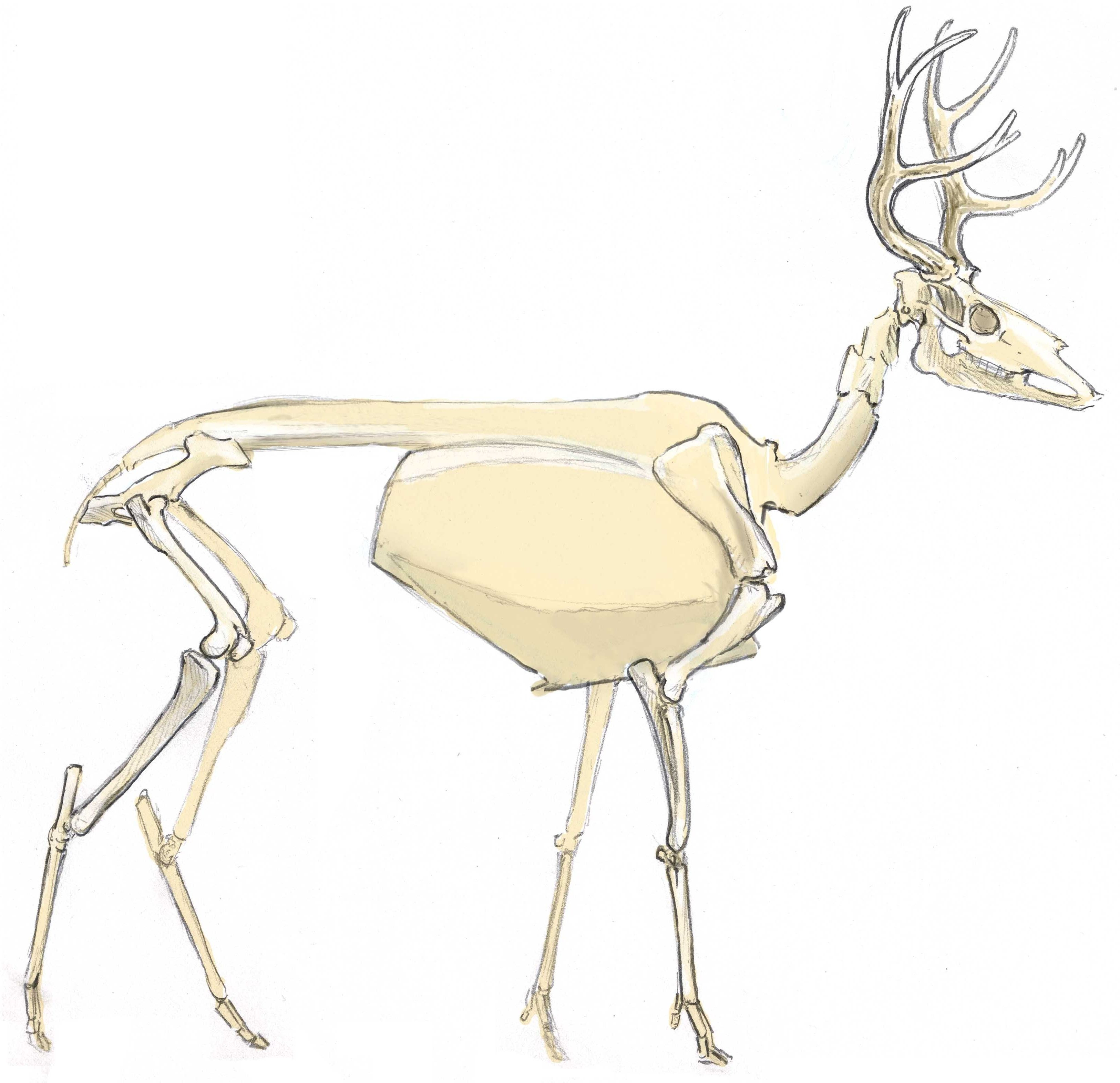 How to Draw a Deer: anatomy | Vulture Culture | Pinterest | Anatomy ...