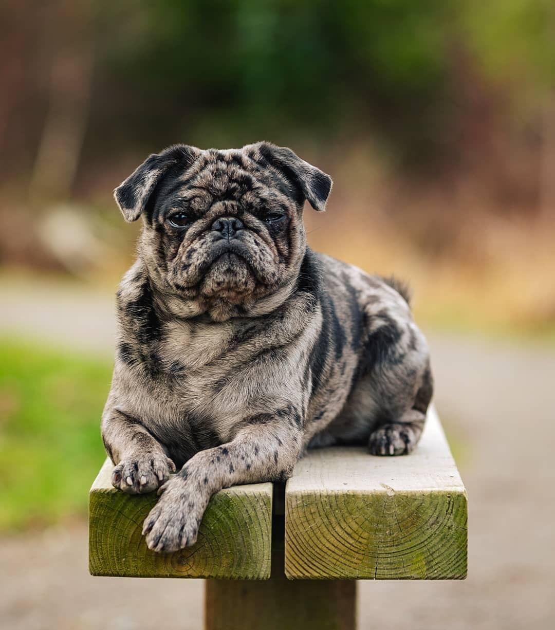 A Brindle Pug Baby Pugs Cute Pugs Brindle Pug
