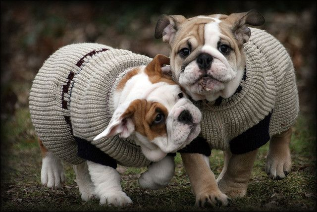 Cold Today Cute Animals English Bulldog Puppies Baby Dogs