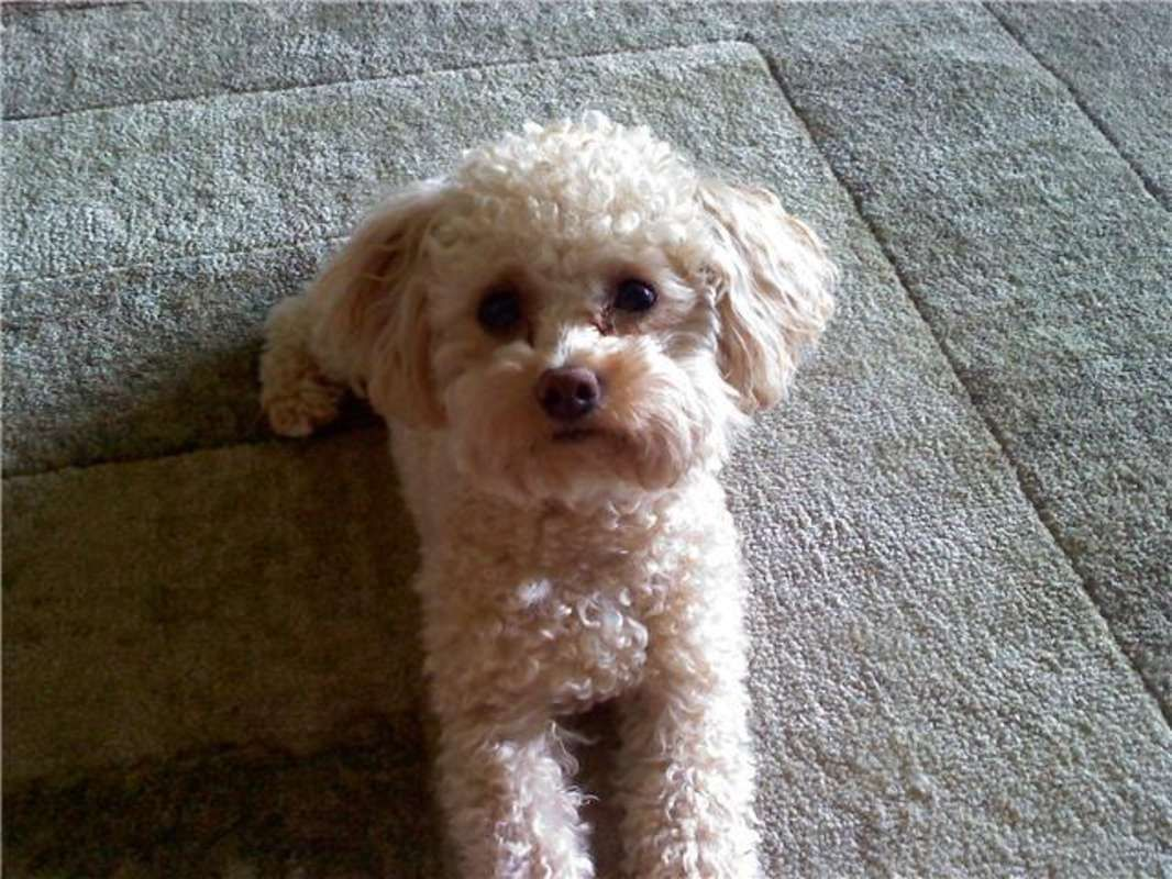 Apricot Toy Poodles Apricot Toy Poodle For Stud Toy Poodle