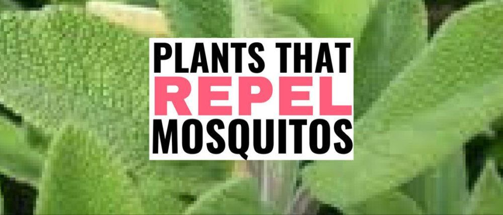 13 Potted Plants That Repel Mosquitos #mosquitoplants 13 Potted Plants That Repel Mosquitos - Meraadi #mosquitoplants