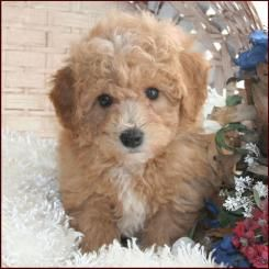 """Cavapoochon """"perfect mix breed"""" Puppy Obsession"""