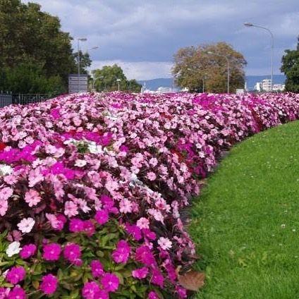 Blooms Mainz