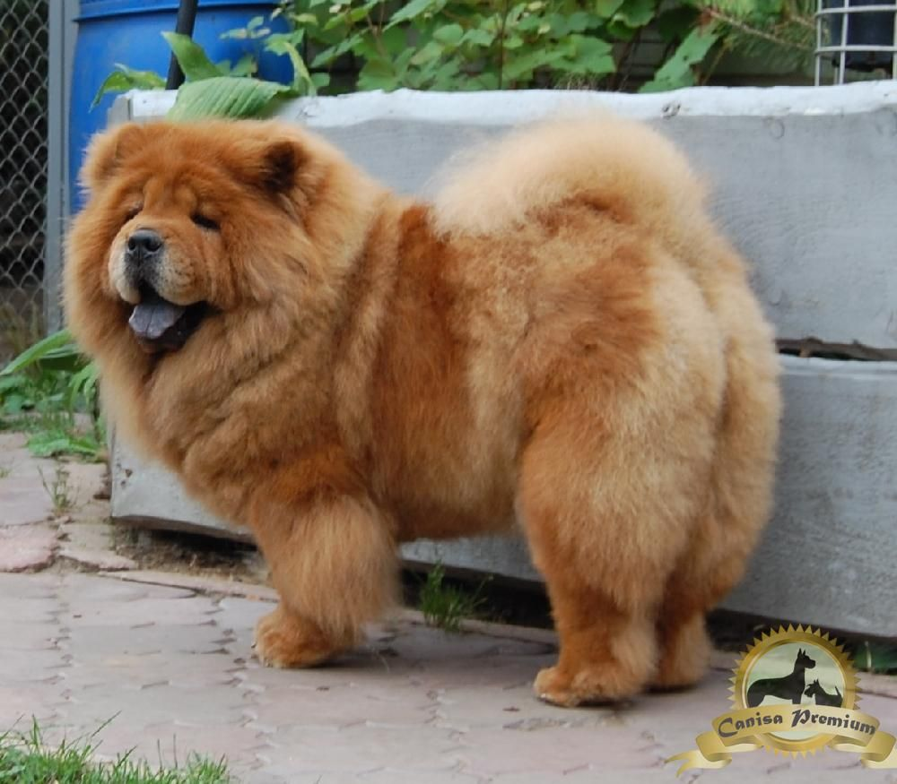 chow chow i want a chow chow pinterest dog animal and chow puppies. Black Bedroom Furniture Sets. Home Design Ideas