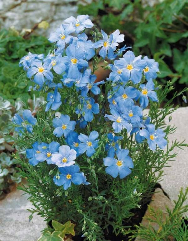 Lin Vivace Bleu Fleurs Et Plantes Pinterest Vivace Bleu Et Plantes