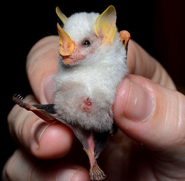 Tiny Honduran White Bat ~