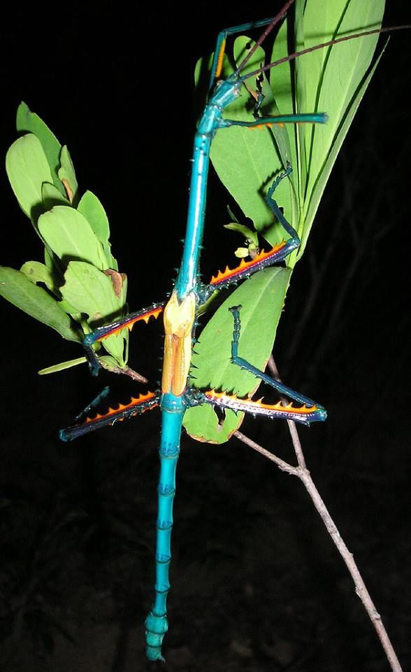 Achrioptera Fallax Stick Insect Insects Weird Insects Bugs